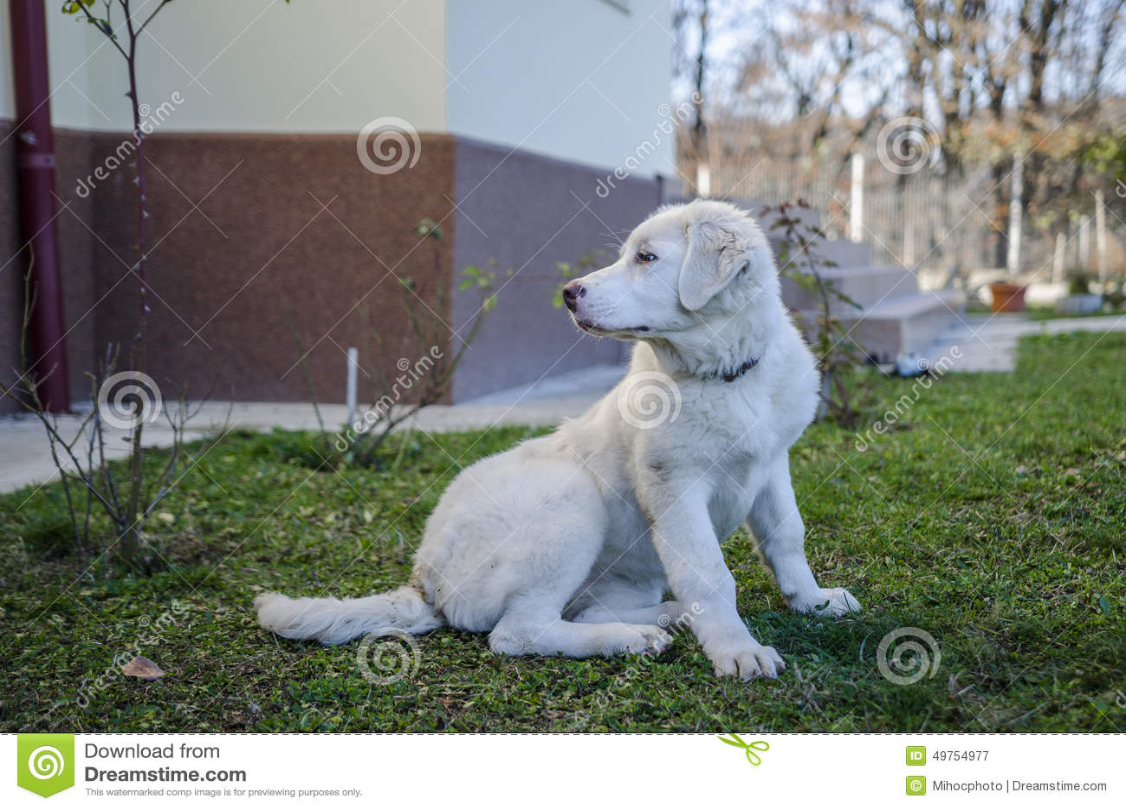 Bucovina Shepherd White