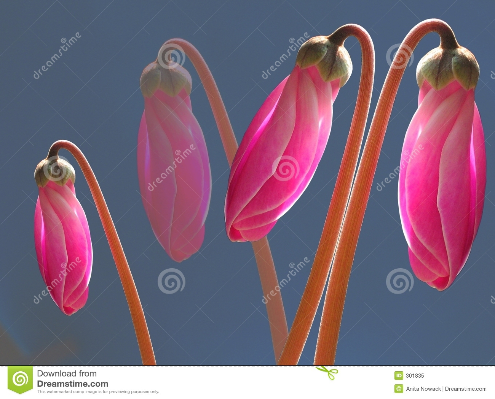 Bud świecące różowy