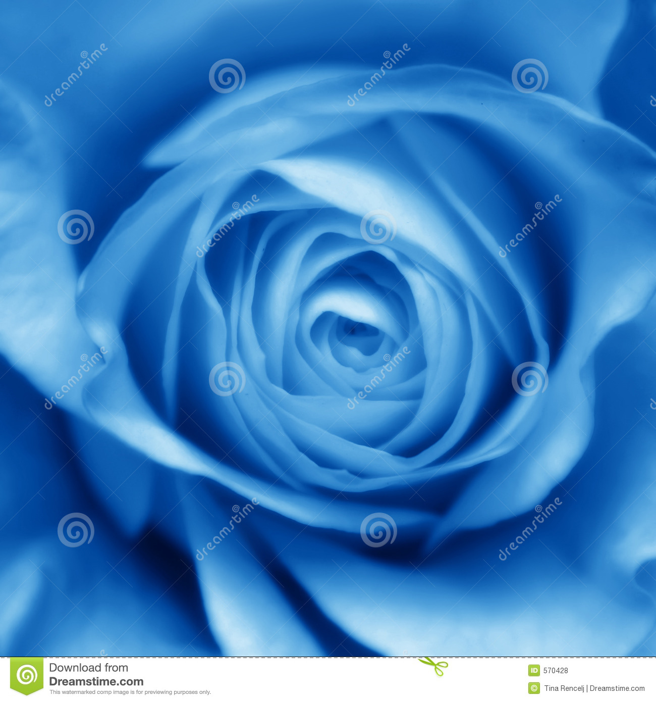 Bud blue rose