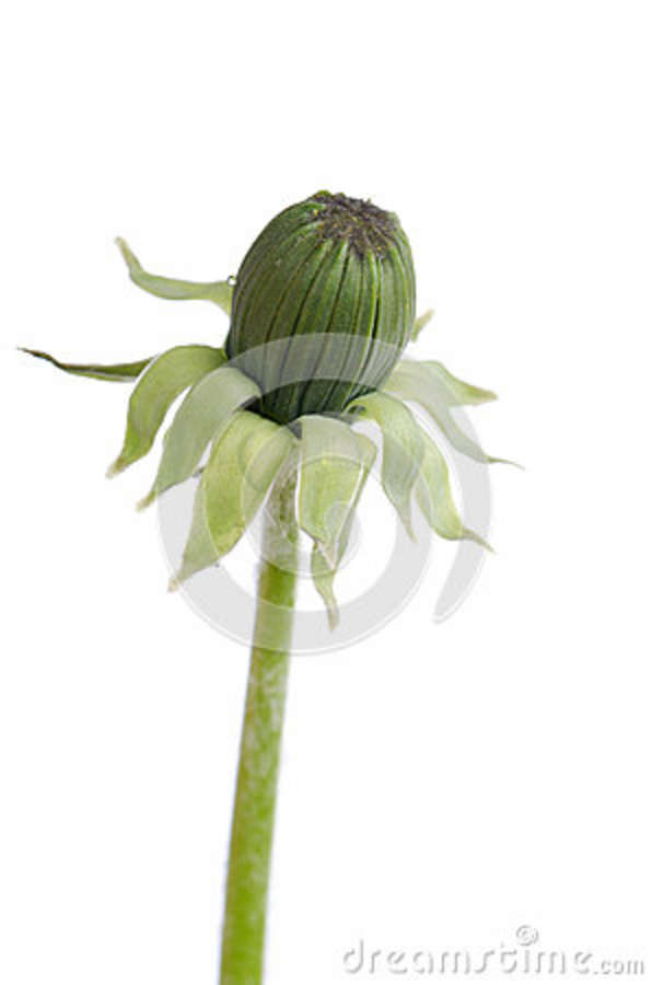Bud dandelion isolated on a white