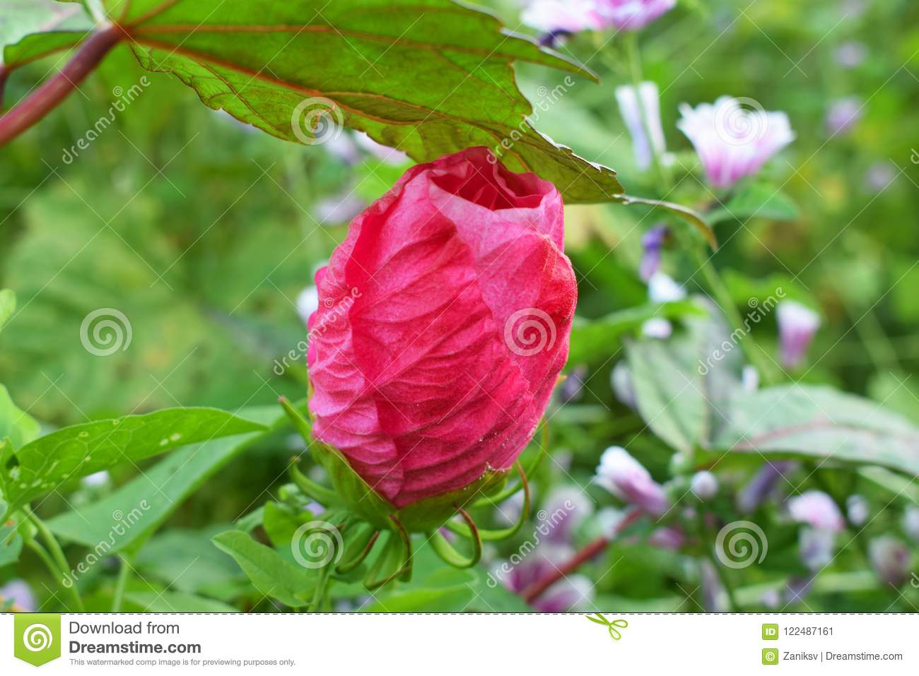 Bud Of Herbaceous Hibiscus Stock Image Image Of Pink 122487161