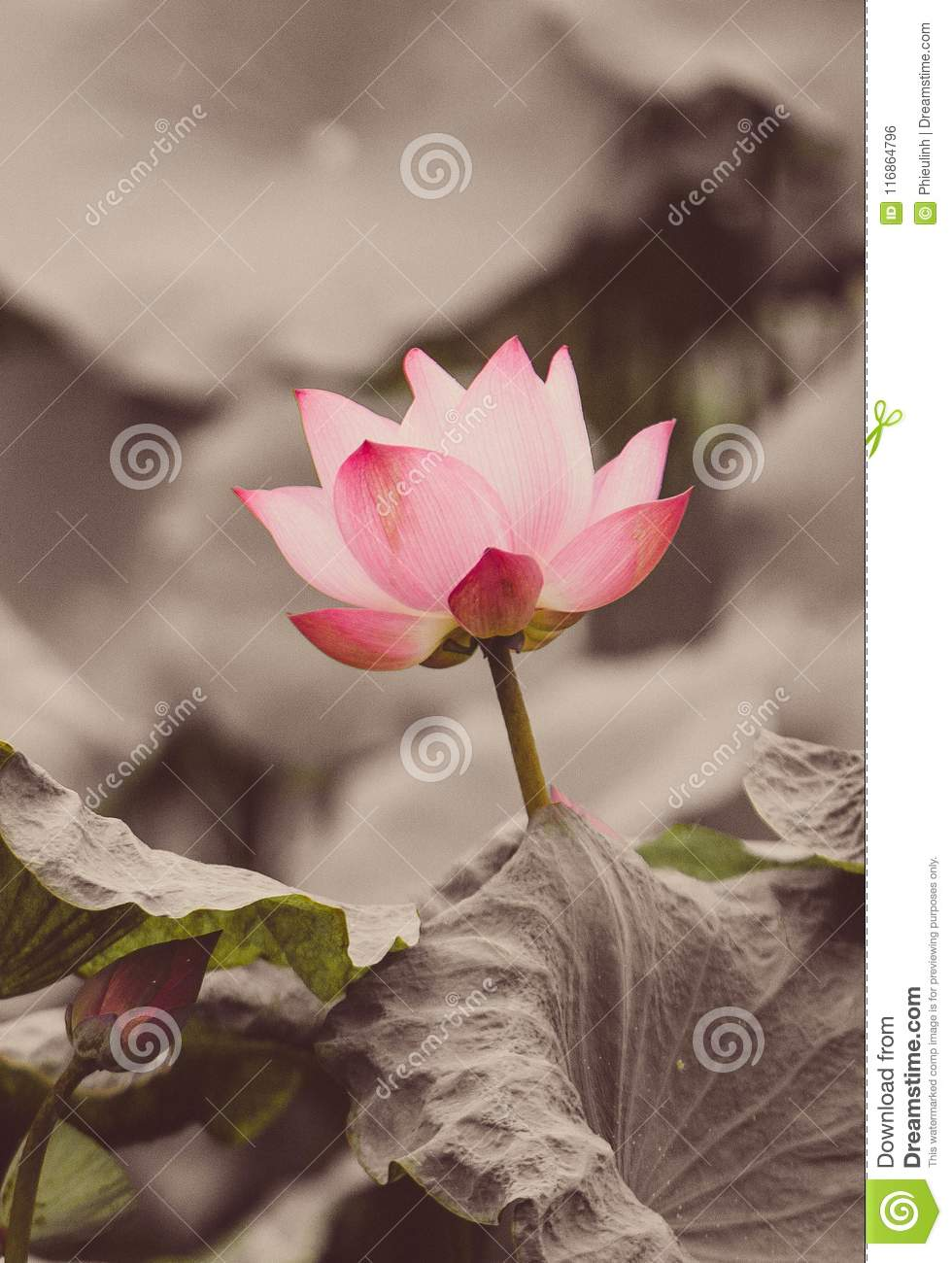 The bud of a lotus flowerckground is the lotus leaf and lotus download the bud of a lotus flowerckground is the lotus leaf and lotus flower izmirmasajfo