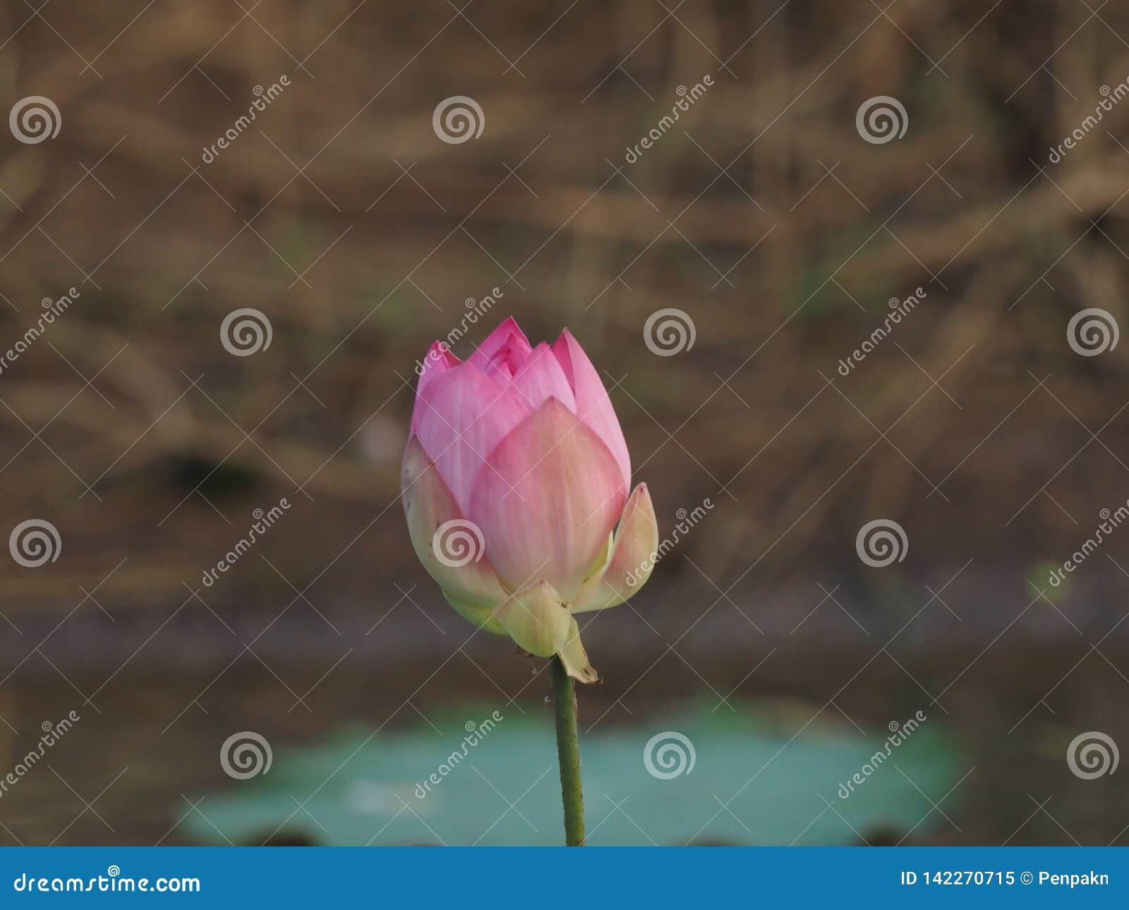 Bud Lotus Pink-bloem op blauwe aard als achtergrond