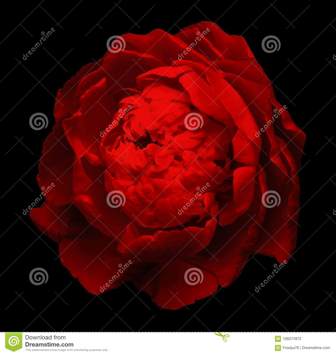 A bud of red blossoming peony flower. Isolated flower on the black background with clipping path without shadows. For design.