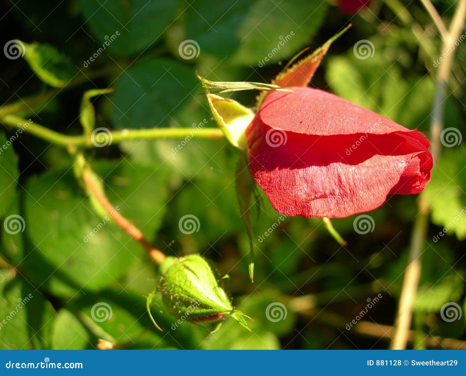 Bud rose