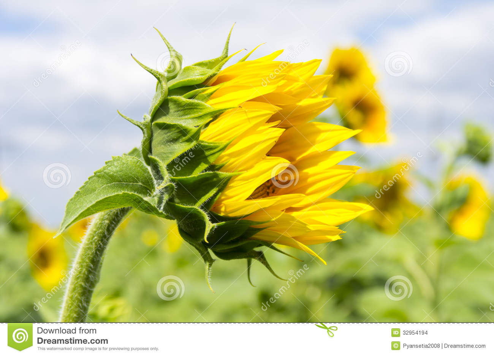 buds | Portraits of Wildflowers | Page 4  |Sunflower Bud