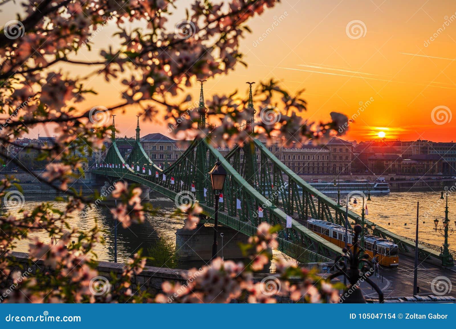 Budapest, Hongrie - beau Liberty Bridge au lever de soleil avec le tram et les fleurs de cerisier hongrois jaunes typiques
