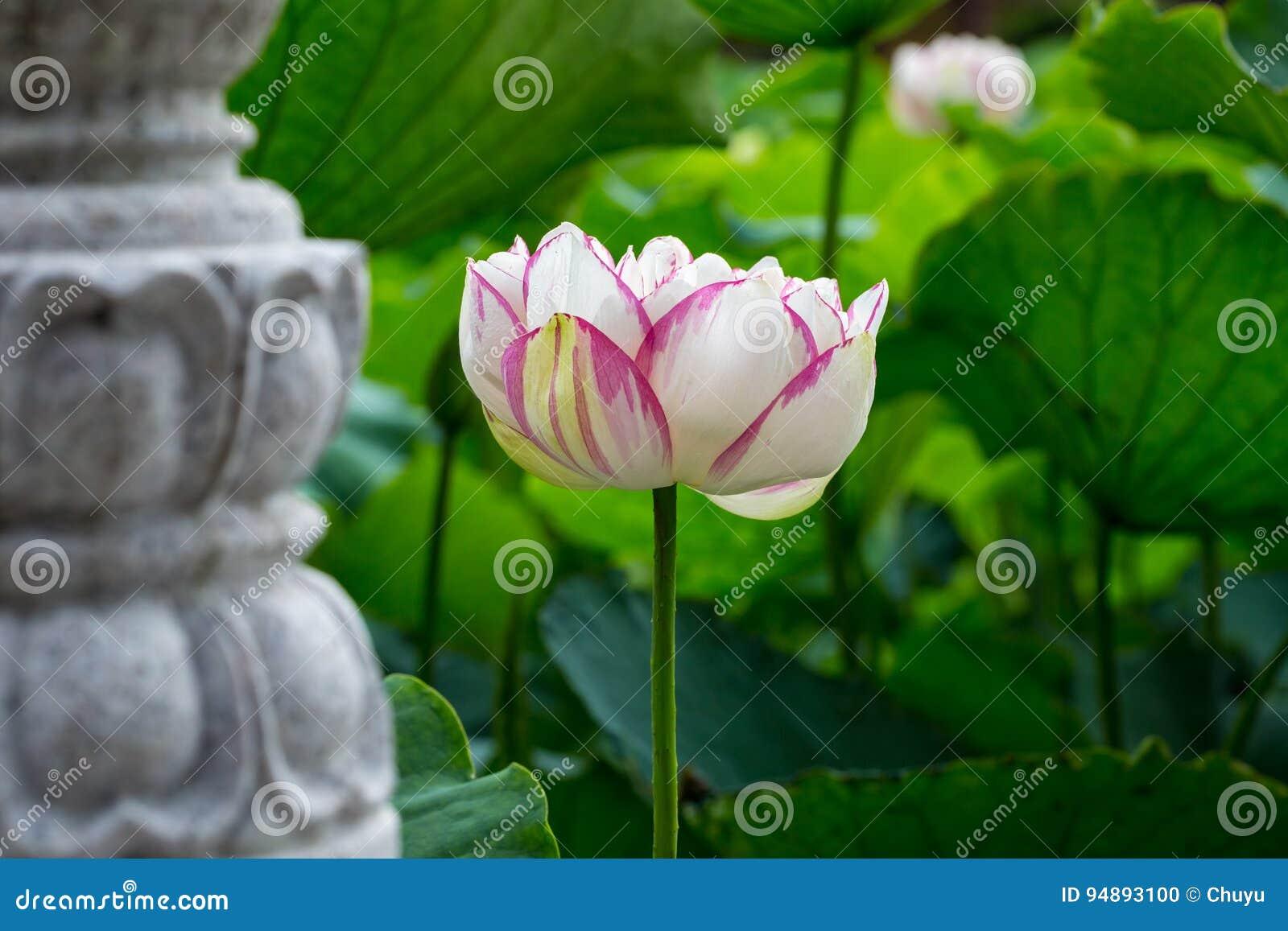 Buddha Lotus Flower Stock Photo Image Of Plant Background 94893100