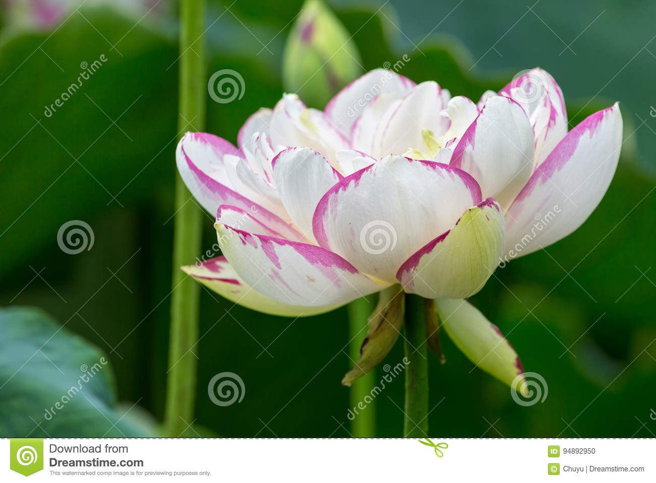 Buddha lotus flower closeup stock photo image of blossom buddha download buddha lotus flower closeup stock photo image of blossom buddha 94892950 izmirmasajfo