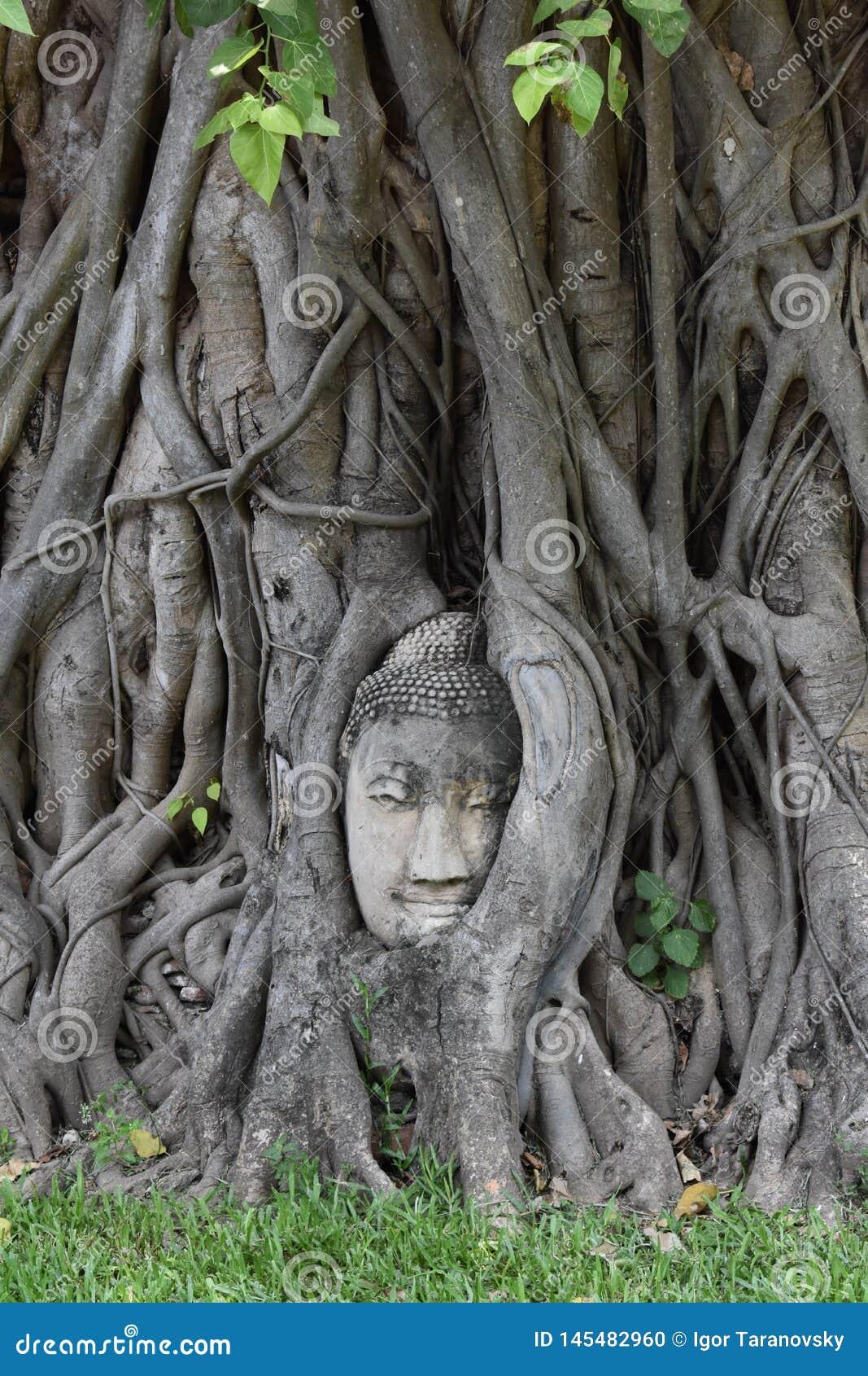 Buddha& x27; s twarz w?rodku drzewa