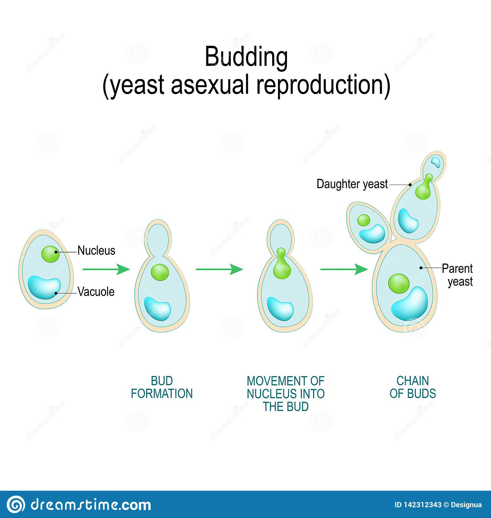 Yeasts reproduce asexually or by budding
