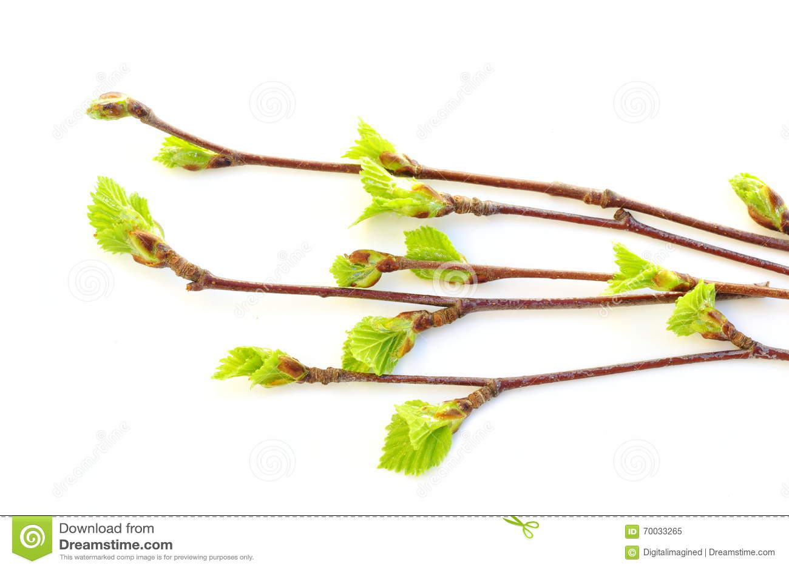Budding birch leaves