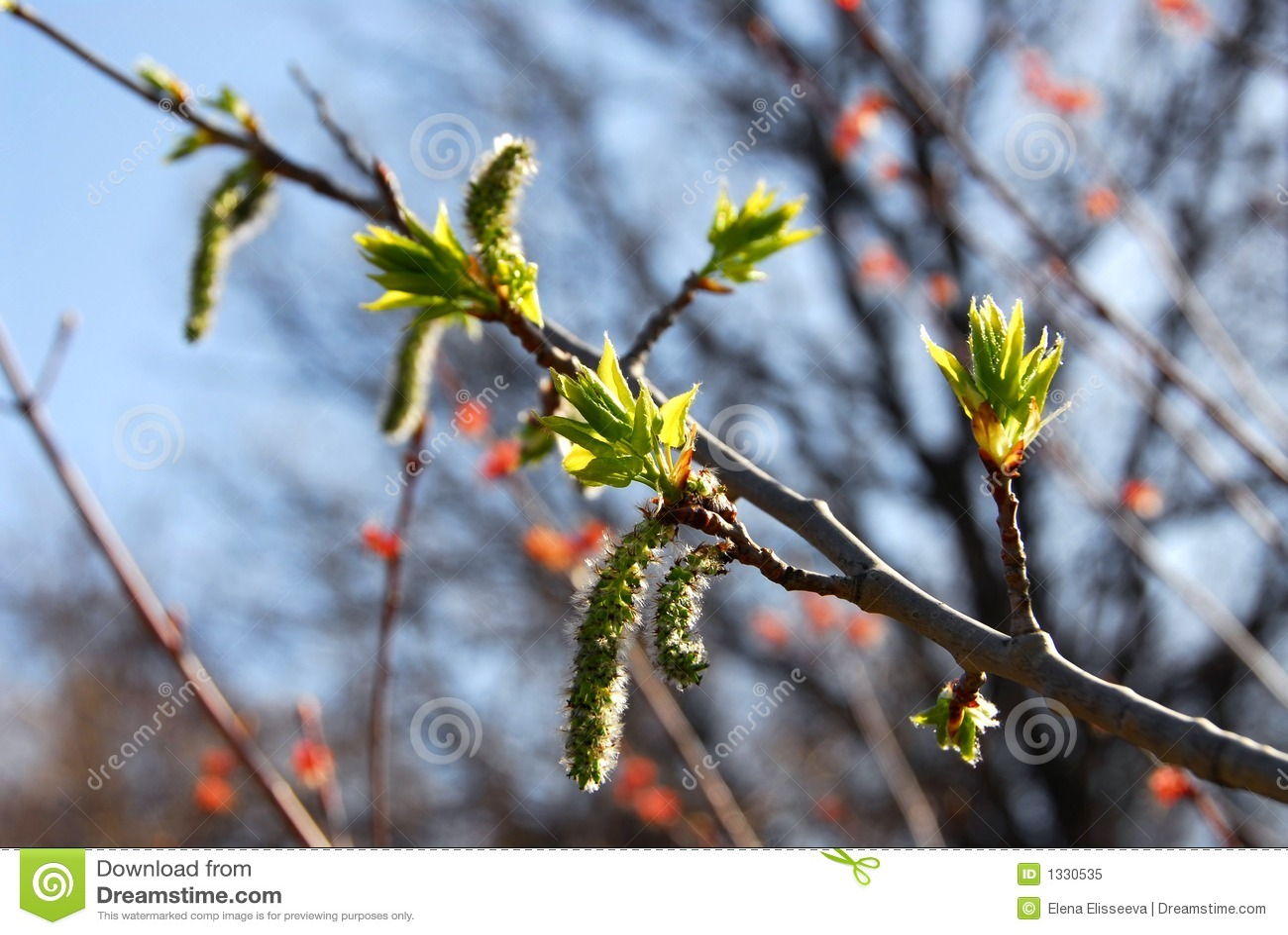 Budding leaves spring