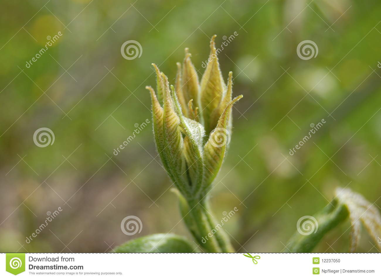 Budding Plant Stock Photo Image Of Bush University