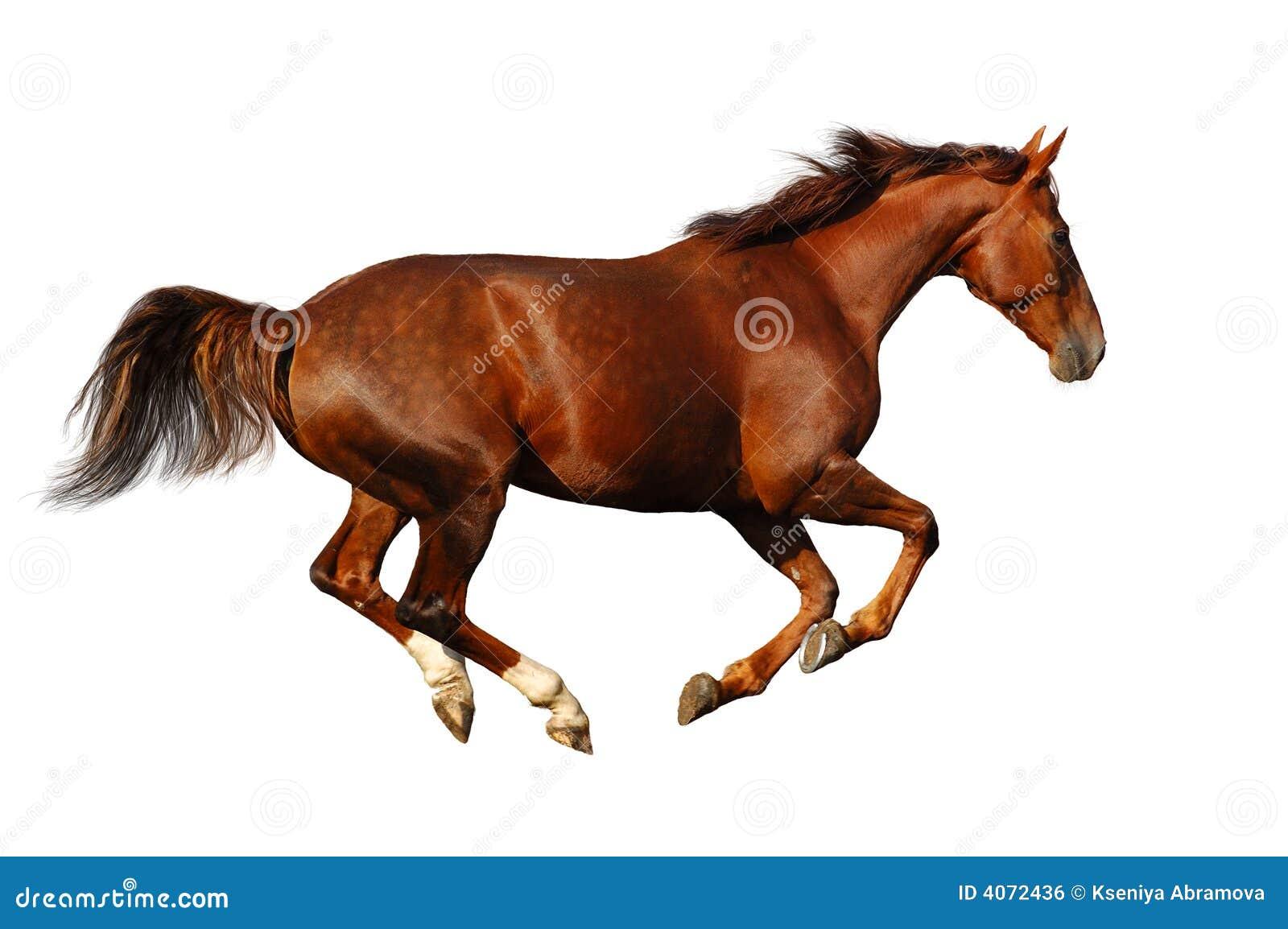 Budenny horse gallops