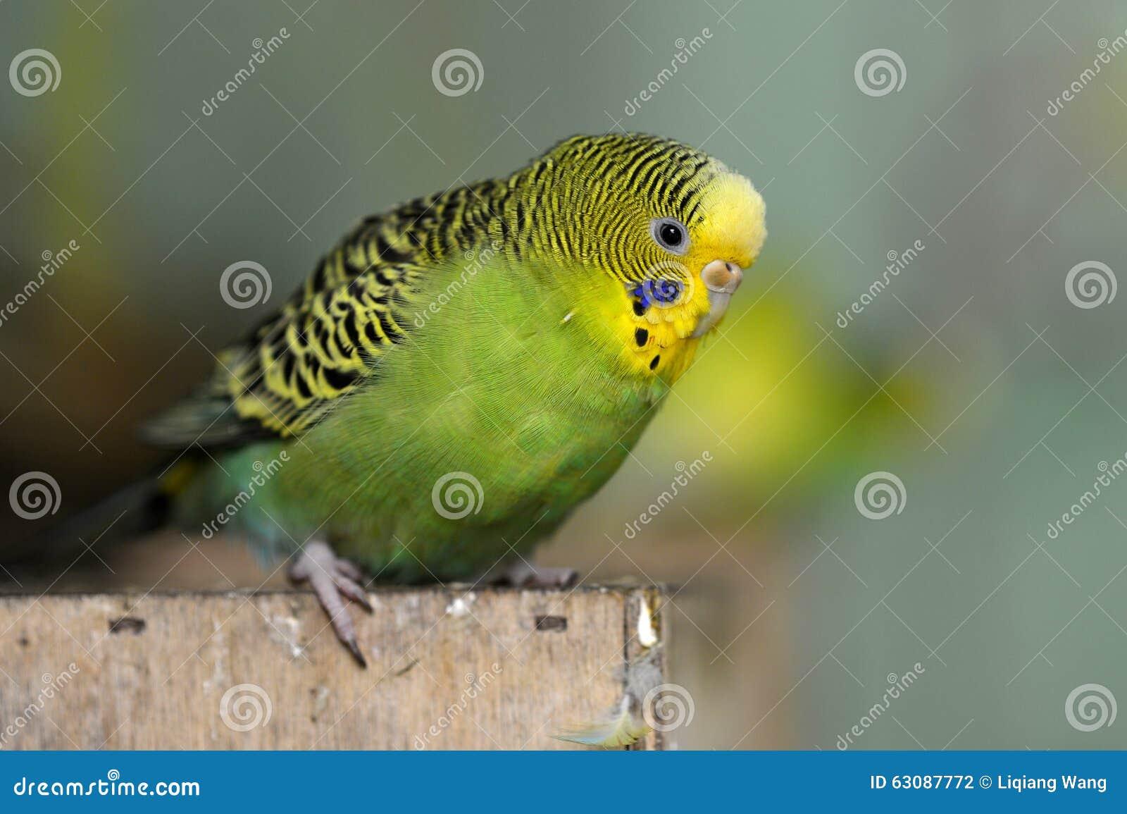 Download Budgerigar photo stock. Image du sauvage, pour, oiseaux - 63087772