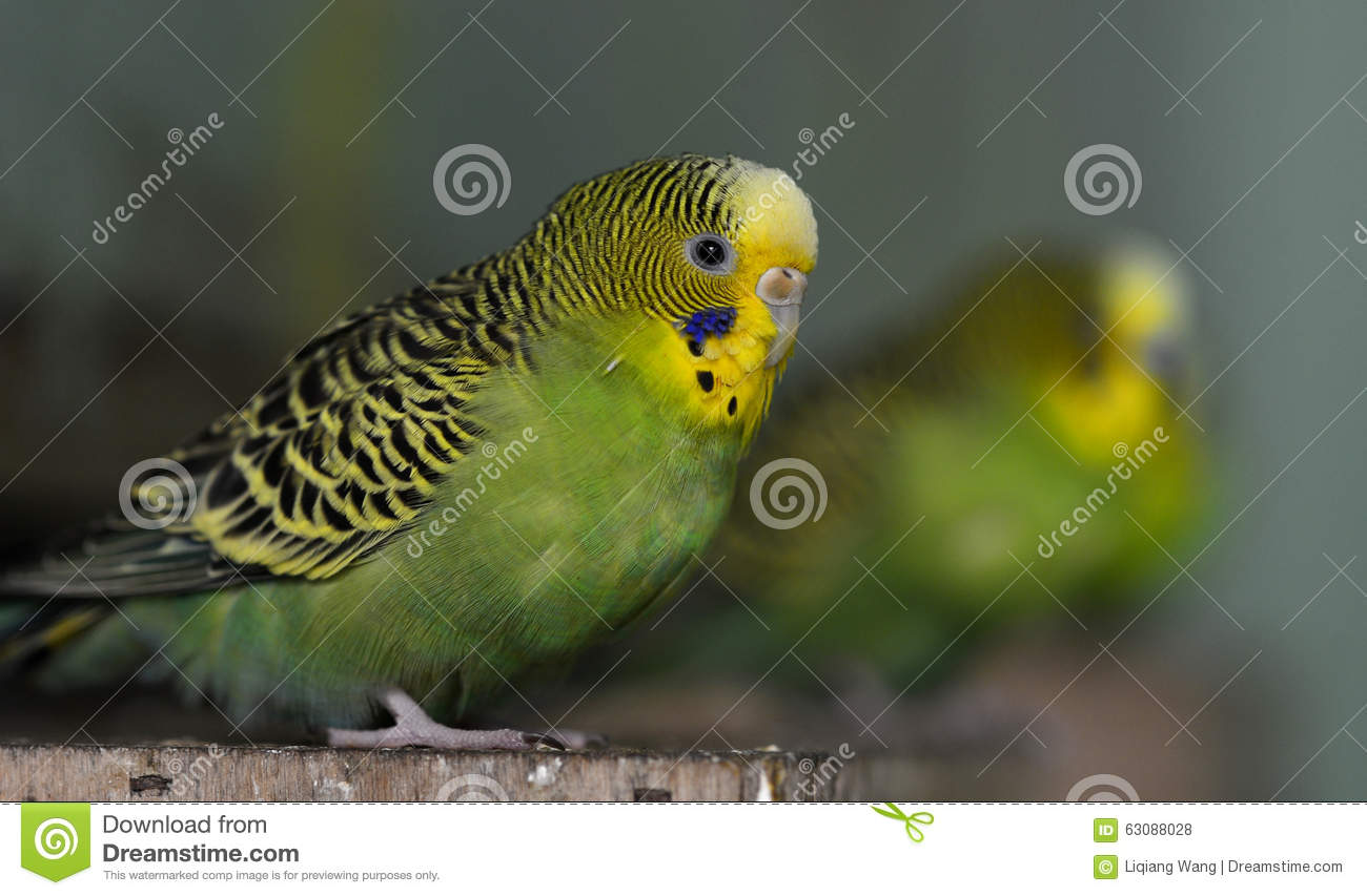 Download Budgerigar photo stock. Image du budgerigar, pour, sauvage - 63088028