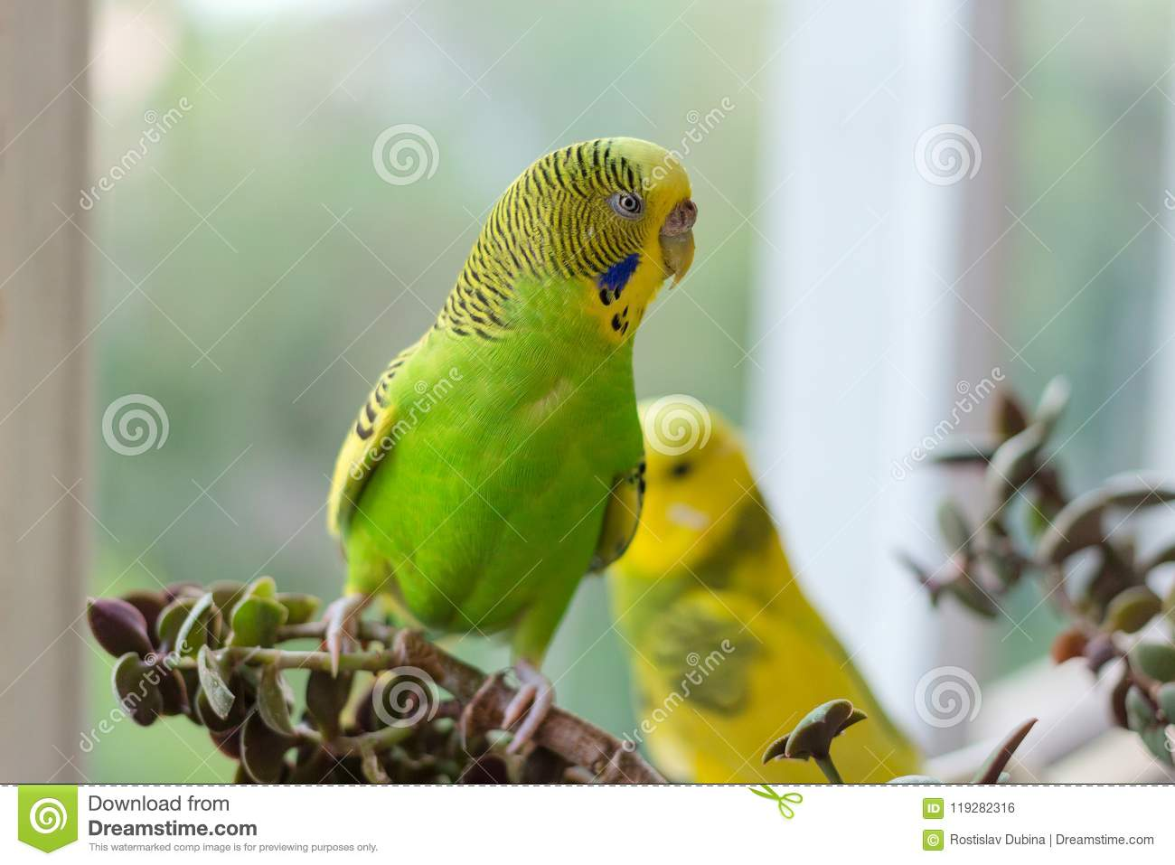 Budgerigar sits on a branch. The parrot is brightly lemon-colored. Bird parrot is a pet. Beautiful, pet wavy parrot
