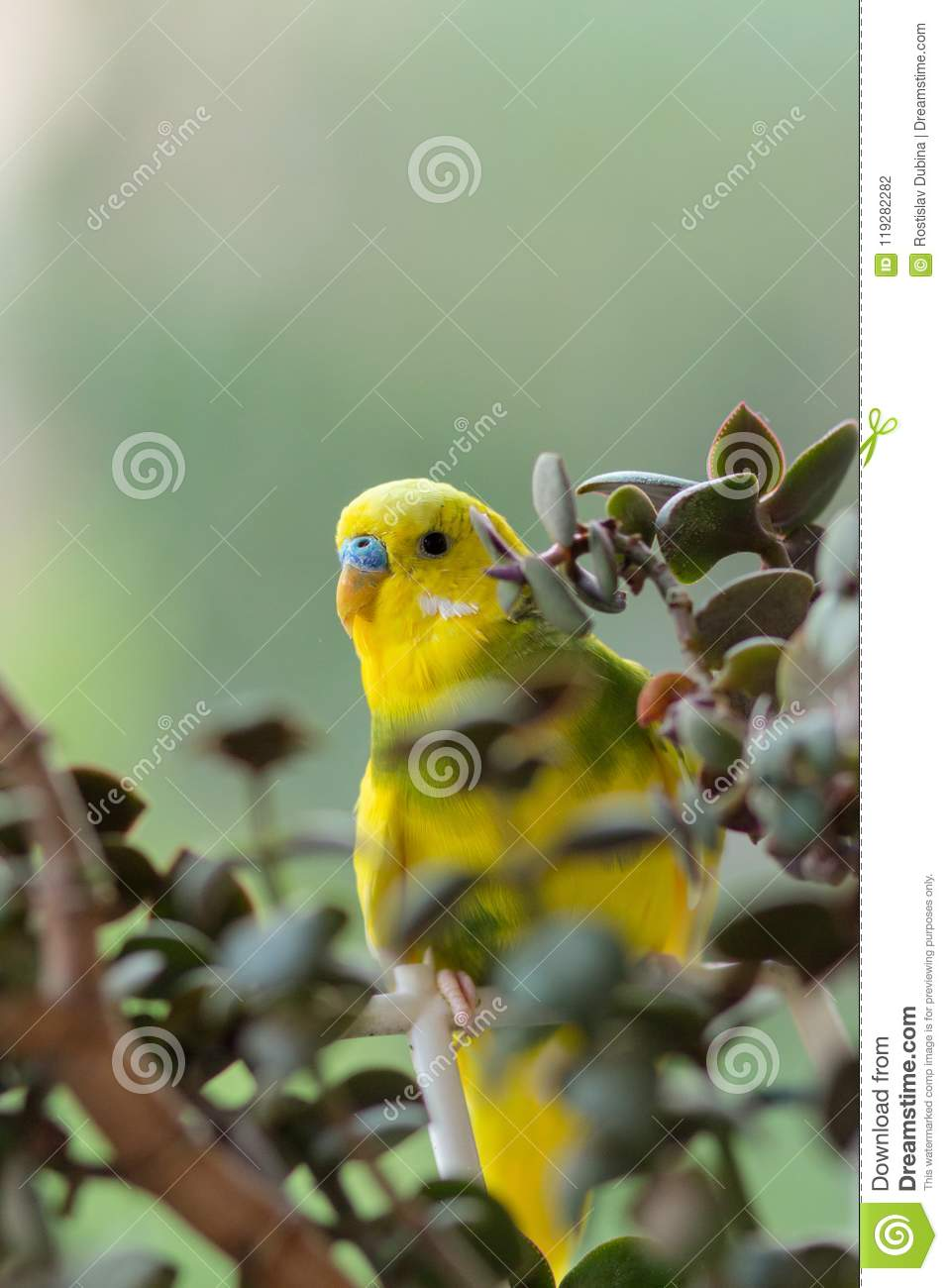 Budgerigar sits on a branch. The parrot is brightly green-colored. Bird parrot is a pet. Beautiful, pet wavy parrot