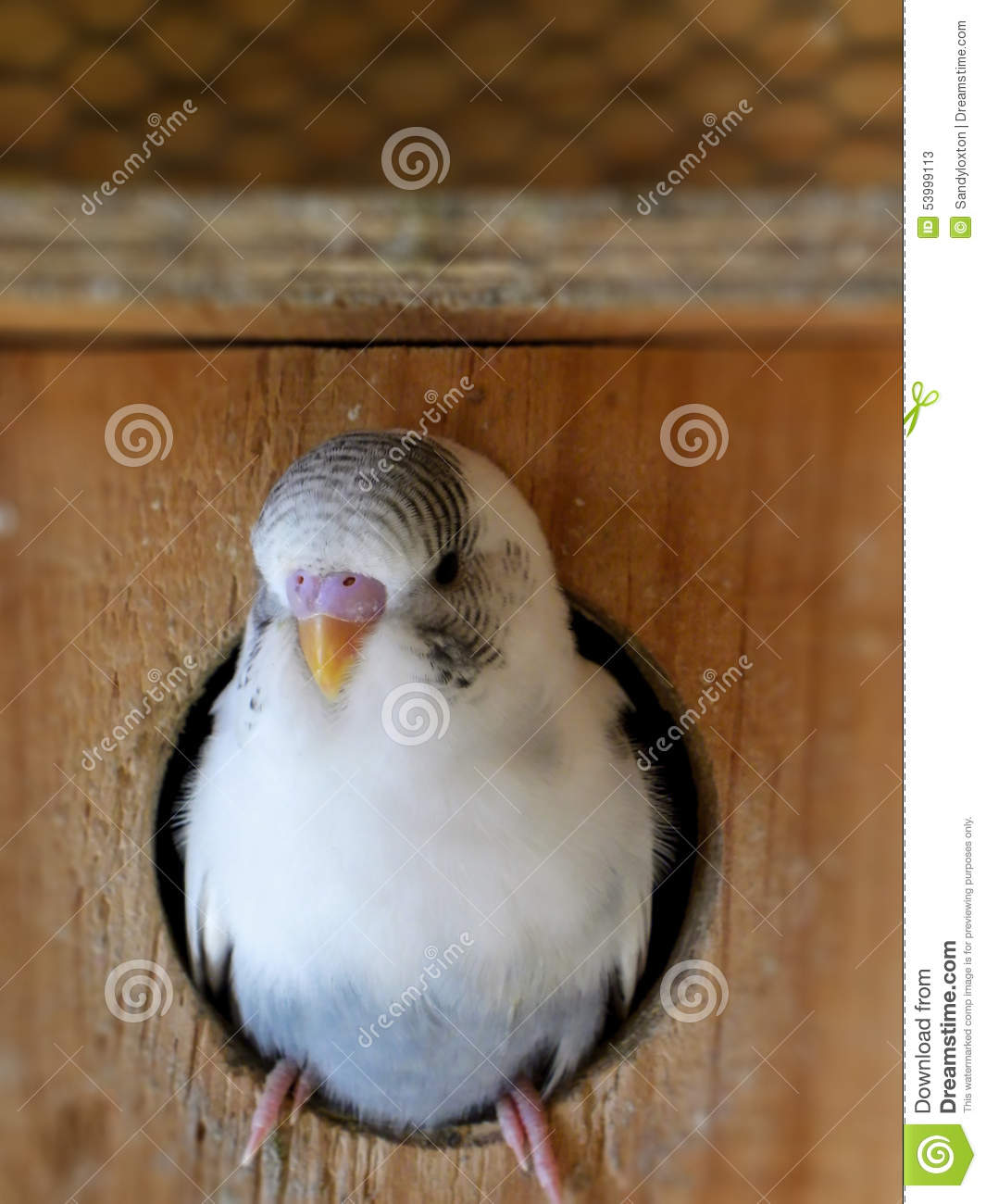 Grey recessive pied budgie getting ready to leave the nest box