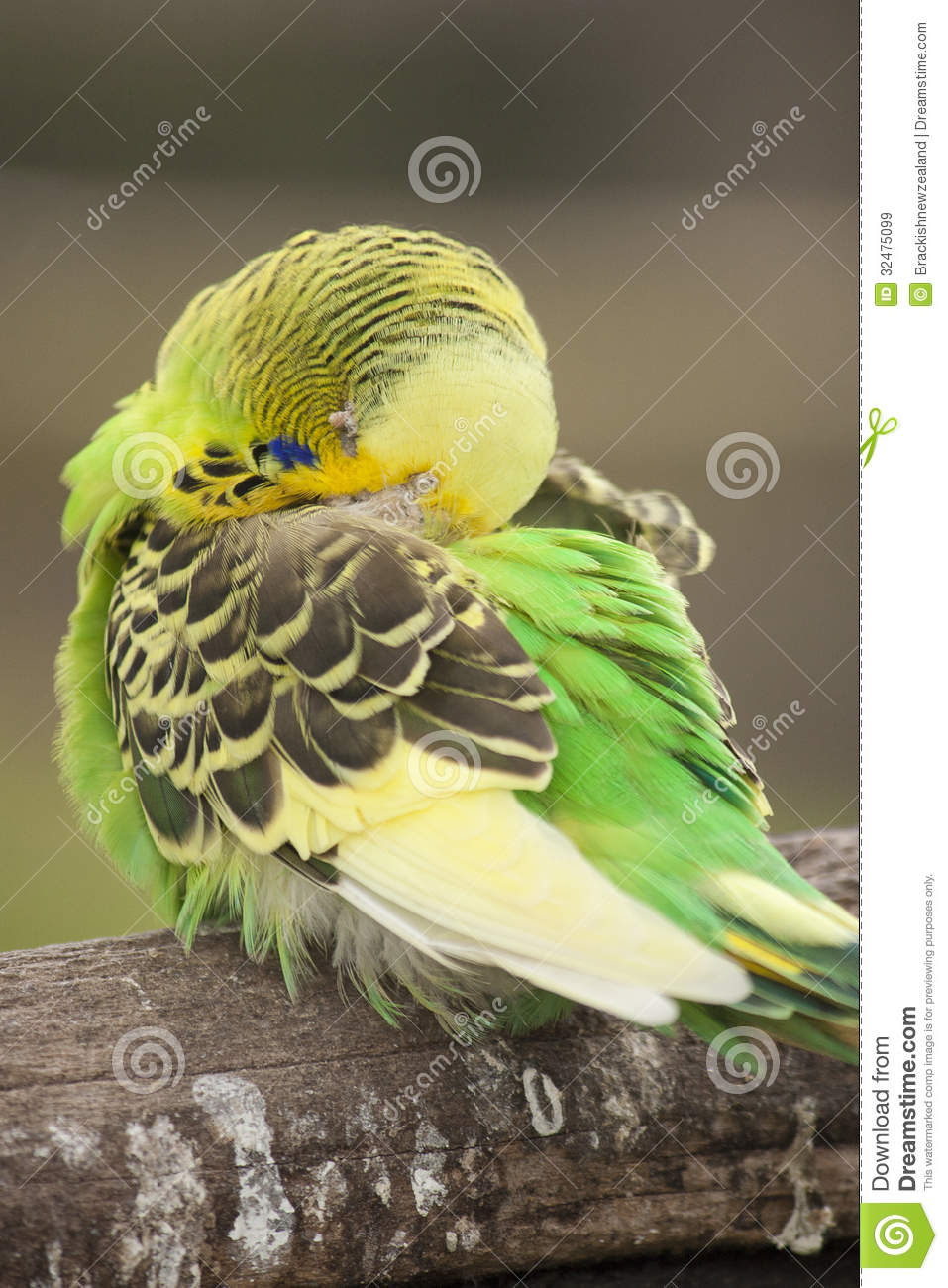 budgie parakeet royalty free stock images image 32475099