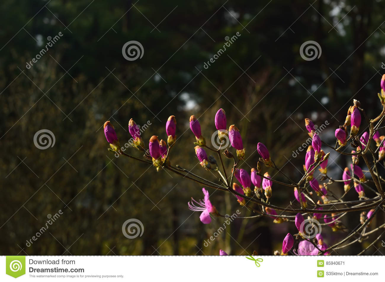 Buds Of Azalea In Early Spring, Kyoto Japan Stock Image - Image of ...
