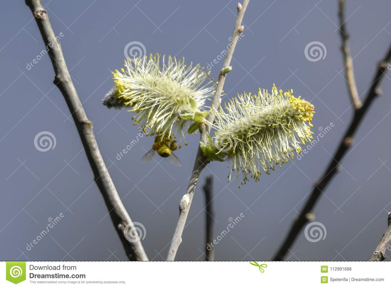 Buds and bee on the tree