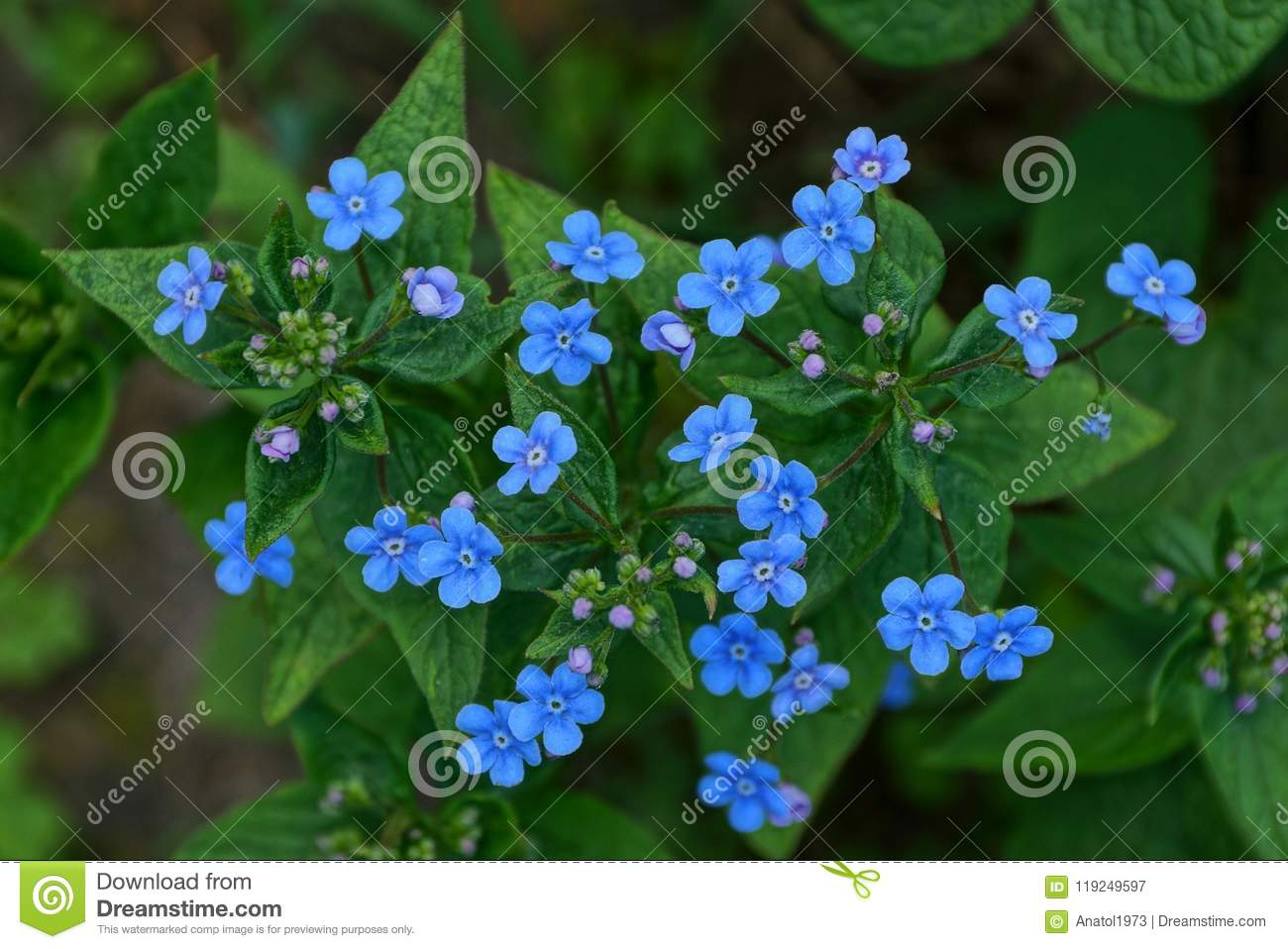 Buds of small blue flowers in green leaves in nature stock image download buds of small blue flowers in green leaves in nature stock image image of izmirmasajfo