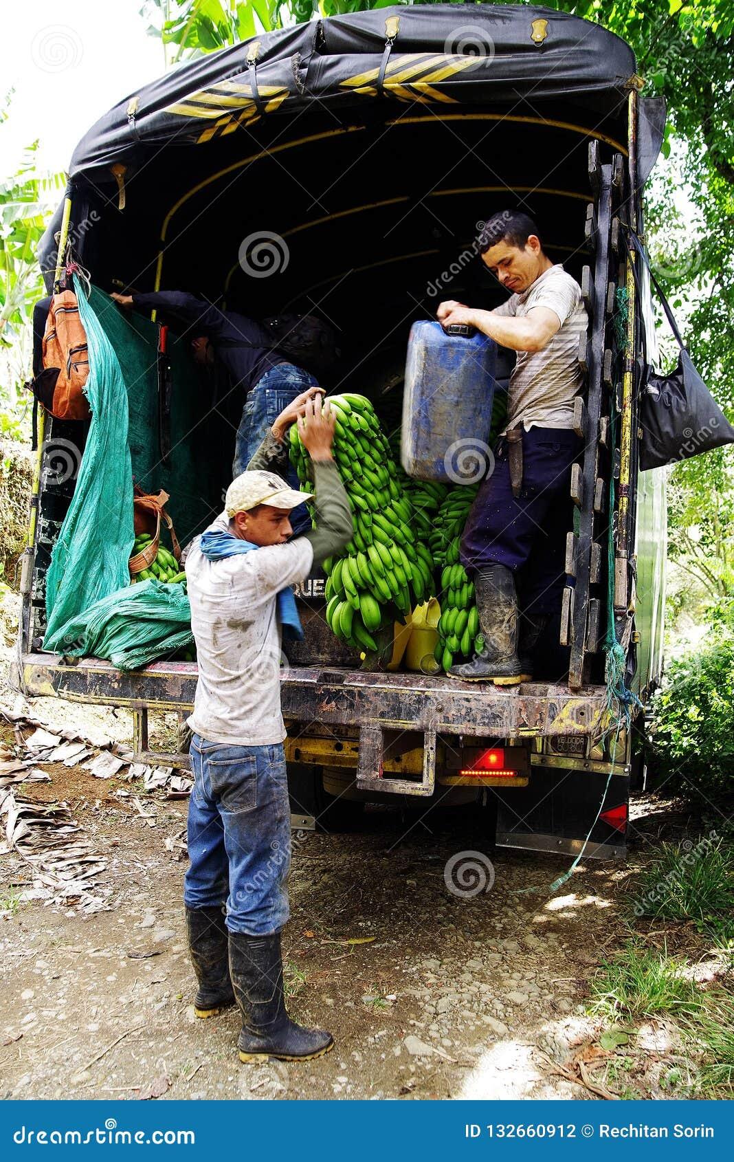 BUENA VISTA QUINDIO, COLOMBIA, 15 AUGUSTI, 2018: Skörda för banan