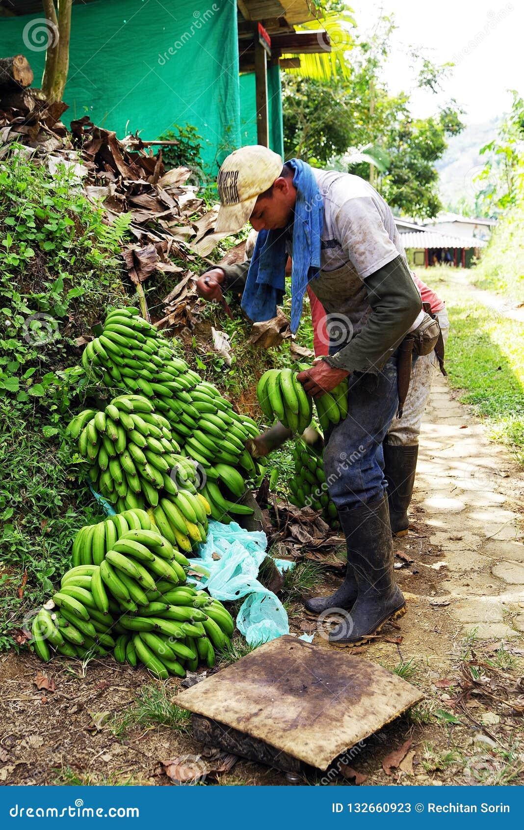 BUENAVISTA, QUINDIO, COLOMBIA, 15 AUGUSTUS, 2018: Banaan het oogsten