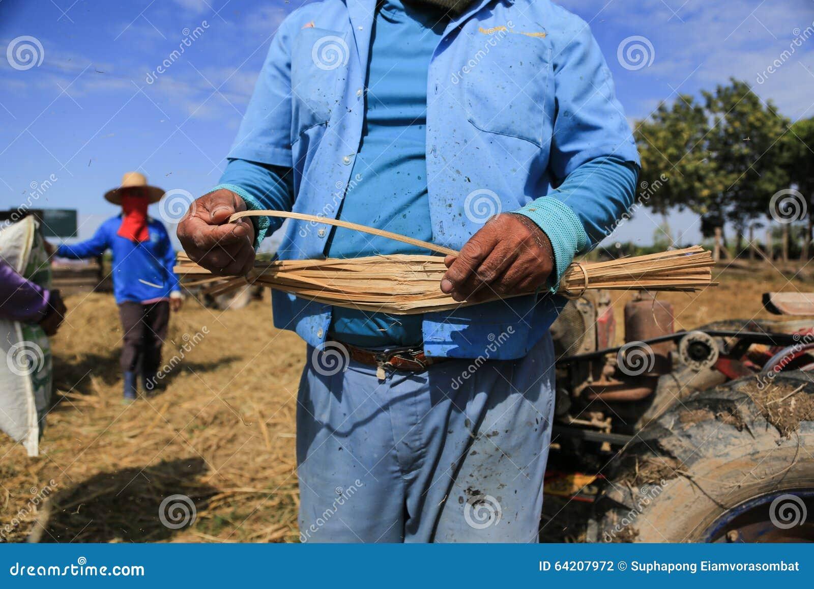 BUENG KAN, TAILANDIA - 8 DE DICIEMBRE: Cosecha tradicional del arroz de Tailandia
