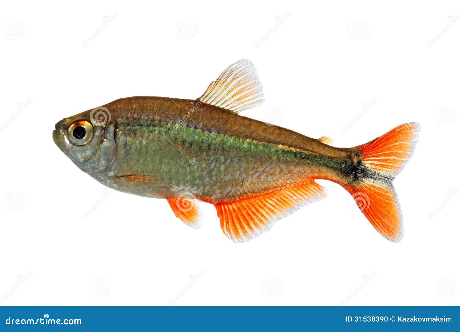 Buenos Aires tetra (Hyphessobrycon anisitsi) - freshwater aquarium ...