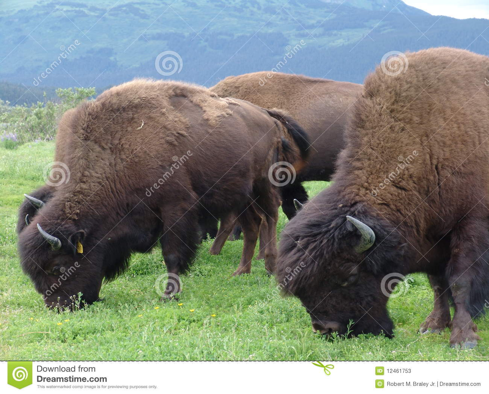 Bufalo che pasce gregge