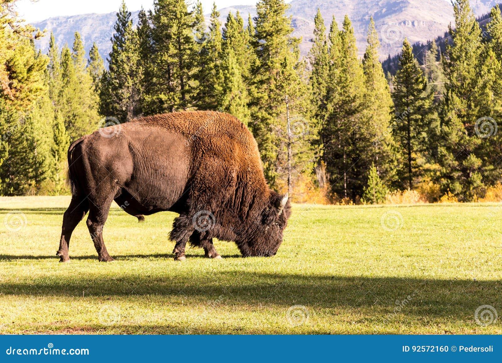 Bufalo maschio del bisonte che pasce