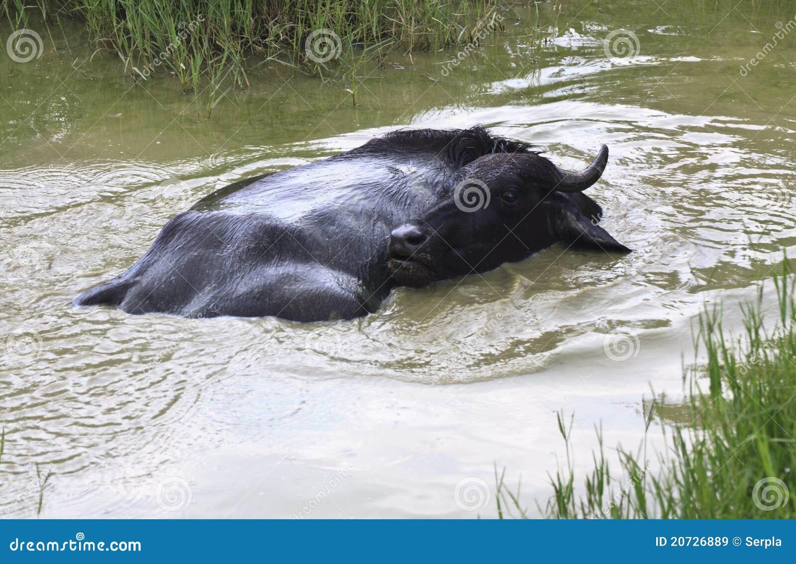 Bufalo nero in piccolo stagno immagine stock immagine di for Piccolo stagno