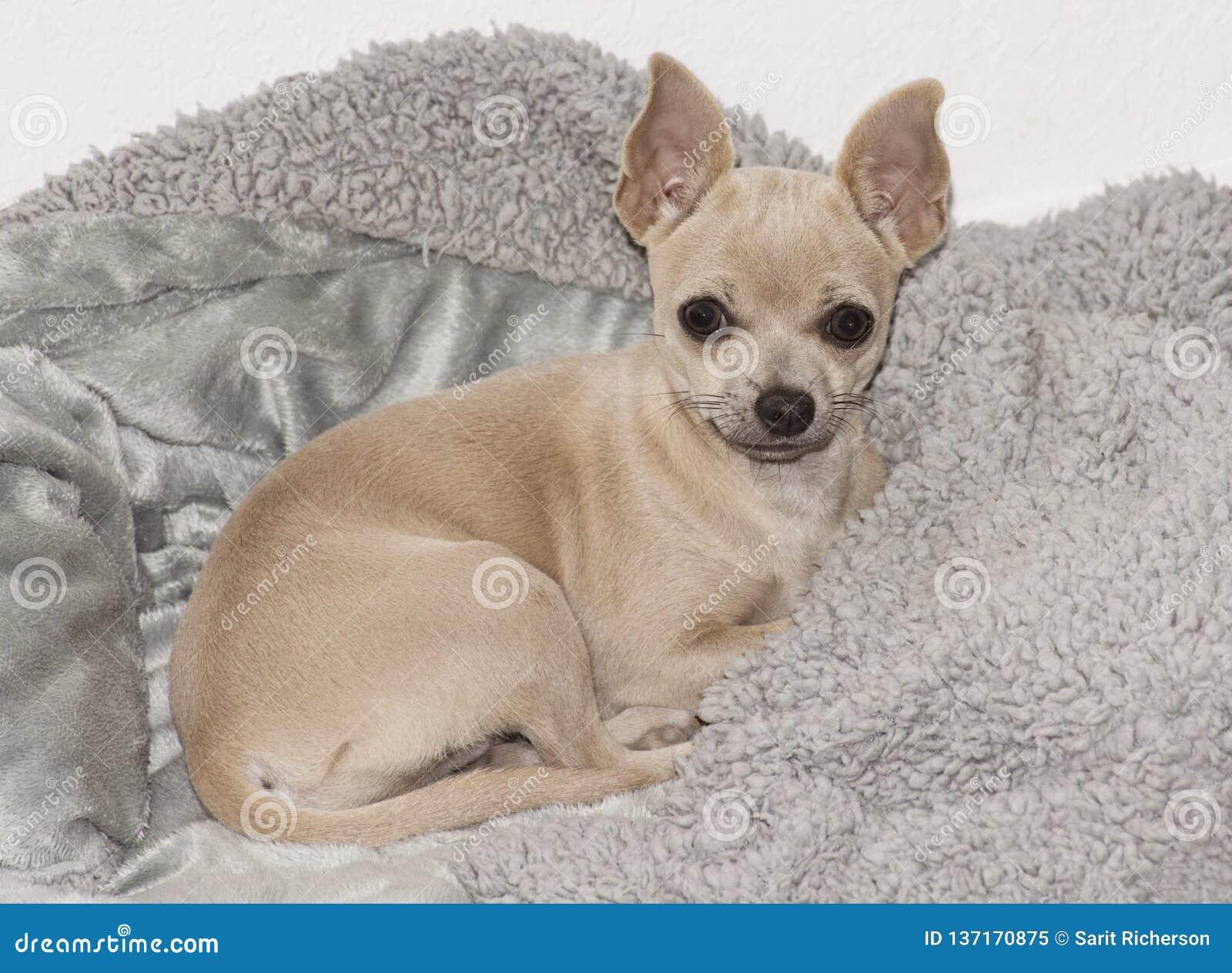 Buff Beige Chihuahua Puppy En Grey Fleece Blanket Imagen De Archivo Imagen De Chihuahua Beige 137170875