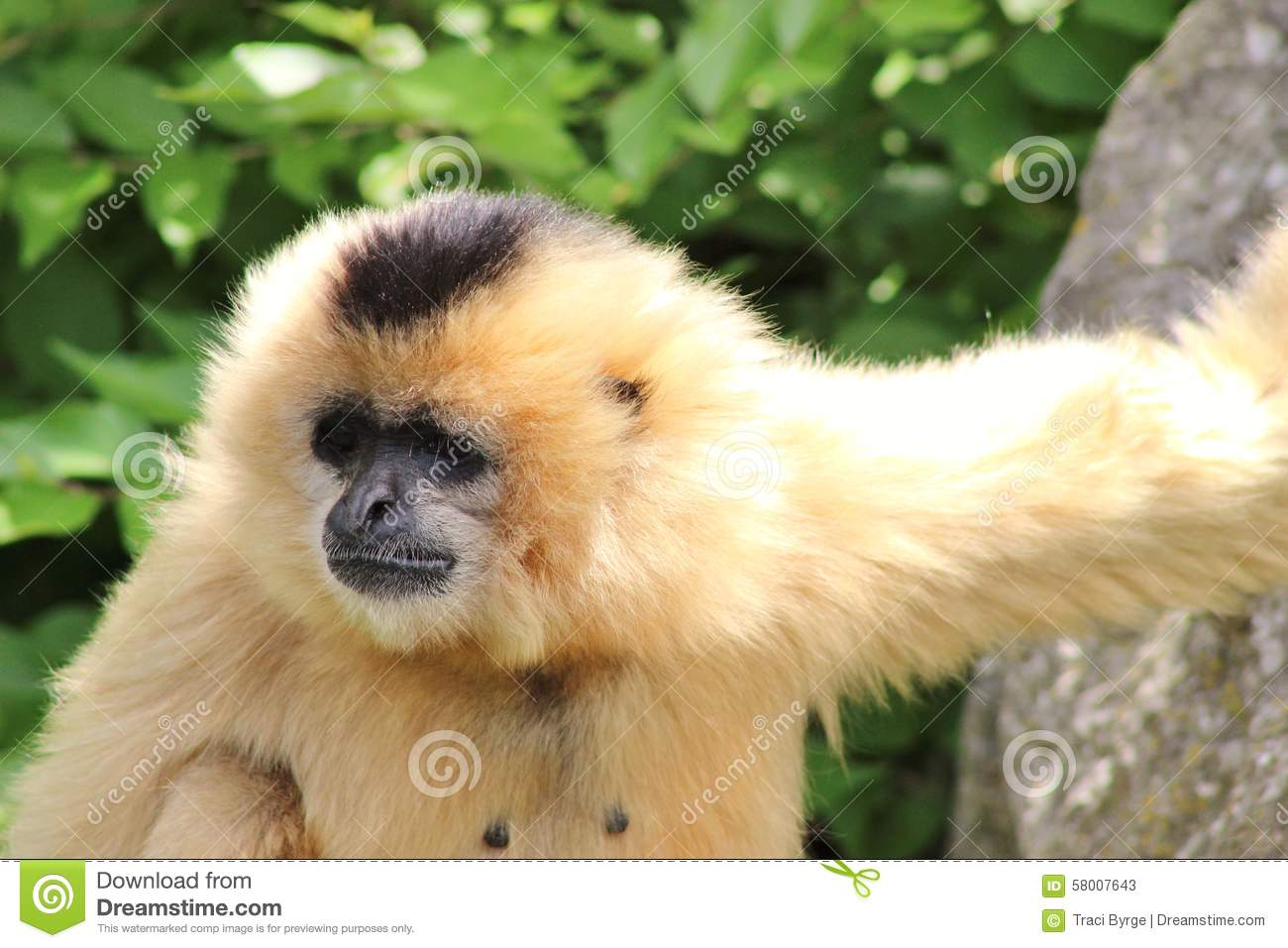 gibbon guys I work with two white handed gibbons and seeing these guys walk on the ground is  like his gibbon friends dared him to do something stupid like cross a rope.
