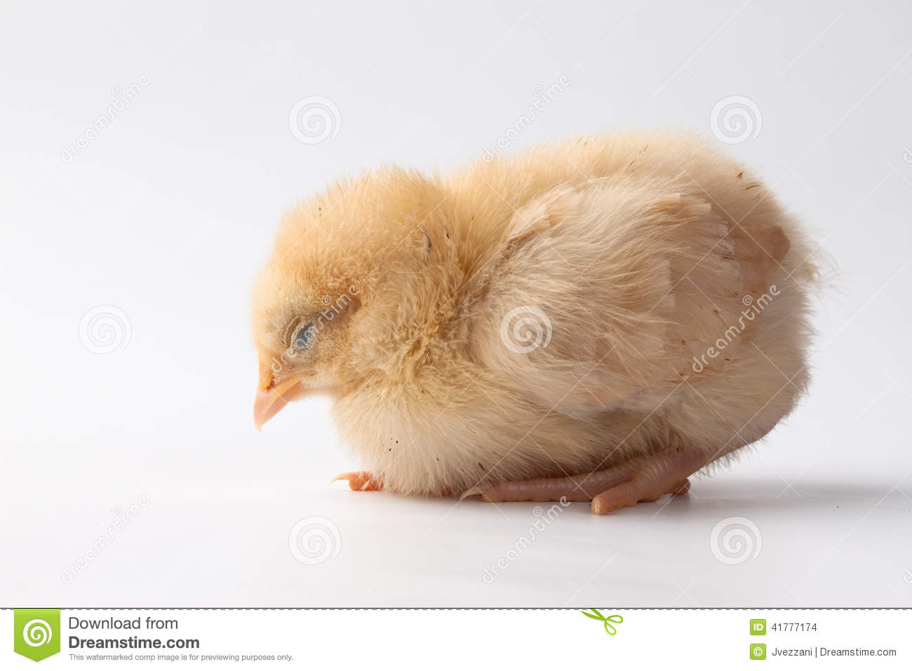 ... yellow Buff Orpington baby chick sleeping on a white background