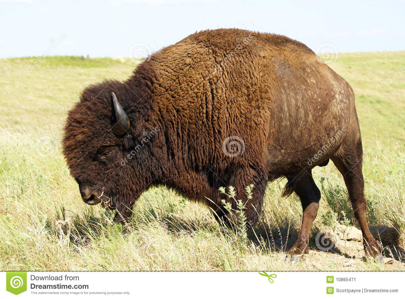 Buffalo immagine stock...
