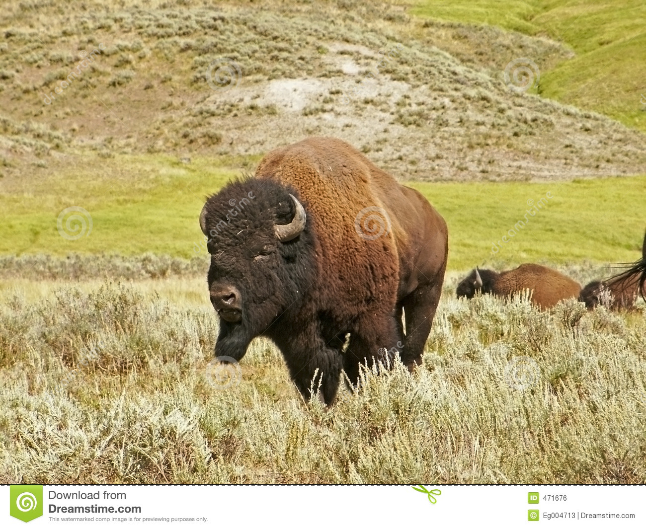Download Buffalo stock photo. Image of american, sightseeing, animal - 471676