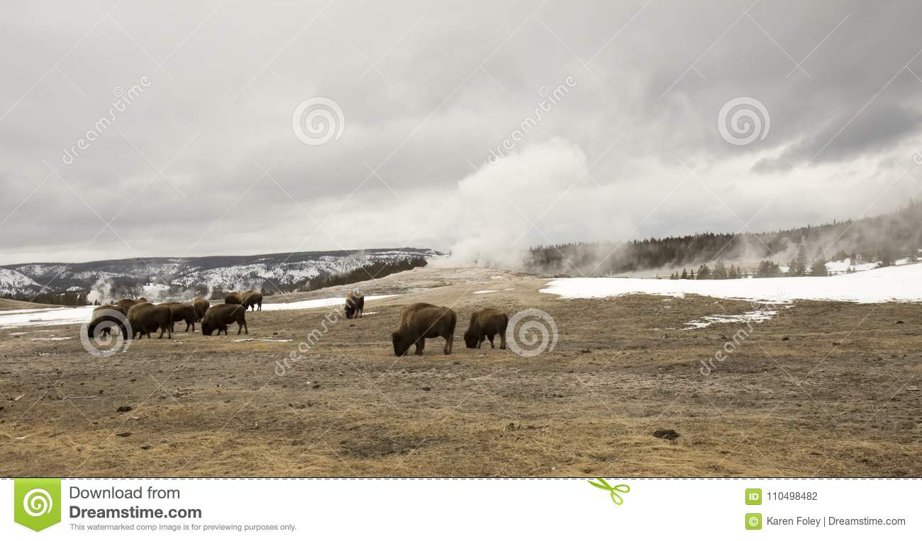 Buffalo Or Bison Grazing Next To Old Faithful Geyser