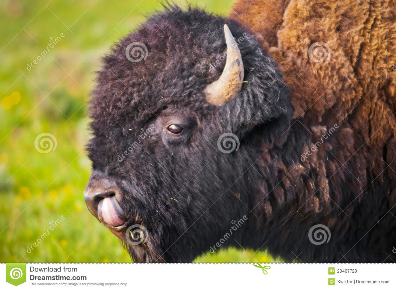 buffalo close up stock photo image of park west thermal