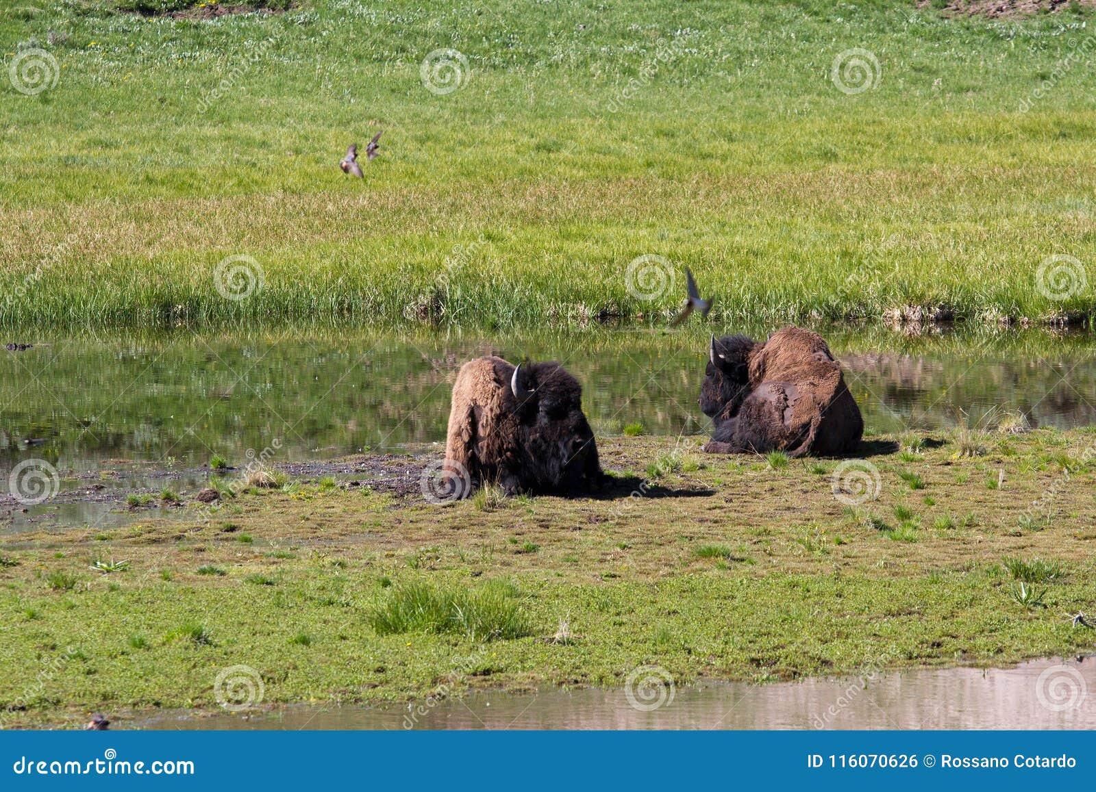 Buffalo dans Yellowstone