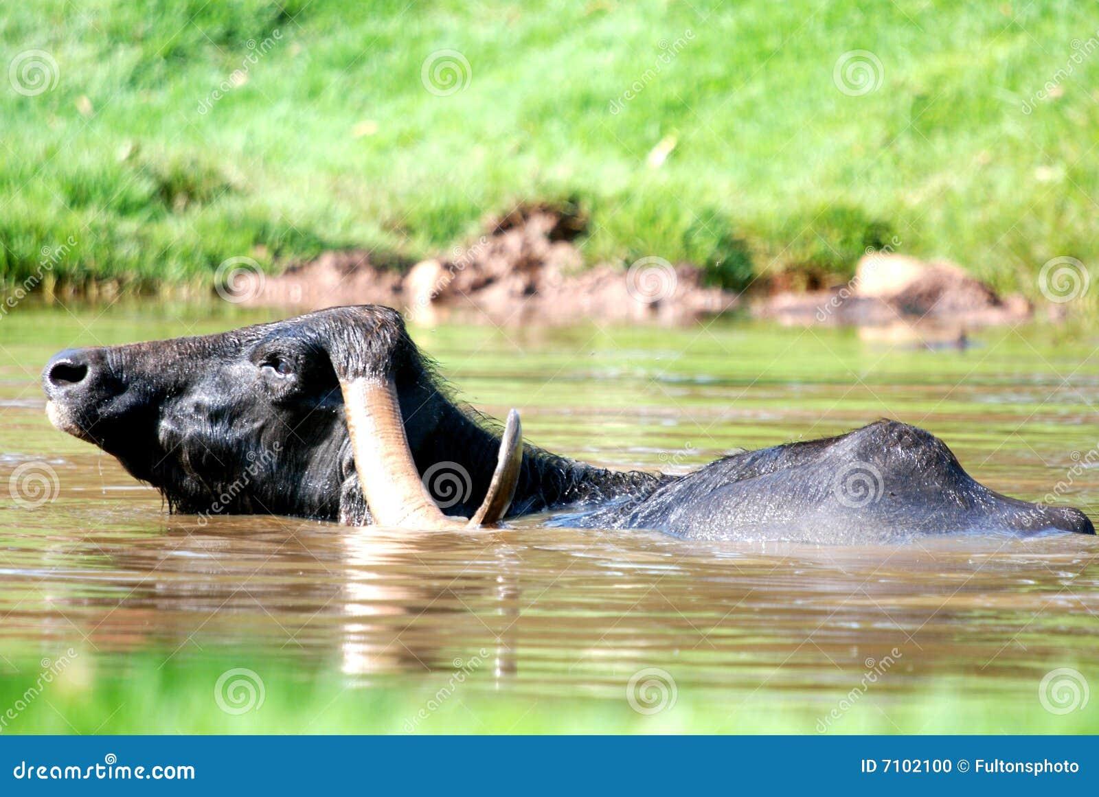 Buffalo di acqua