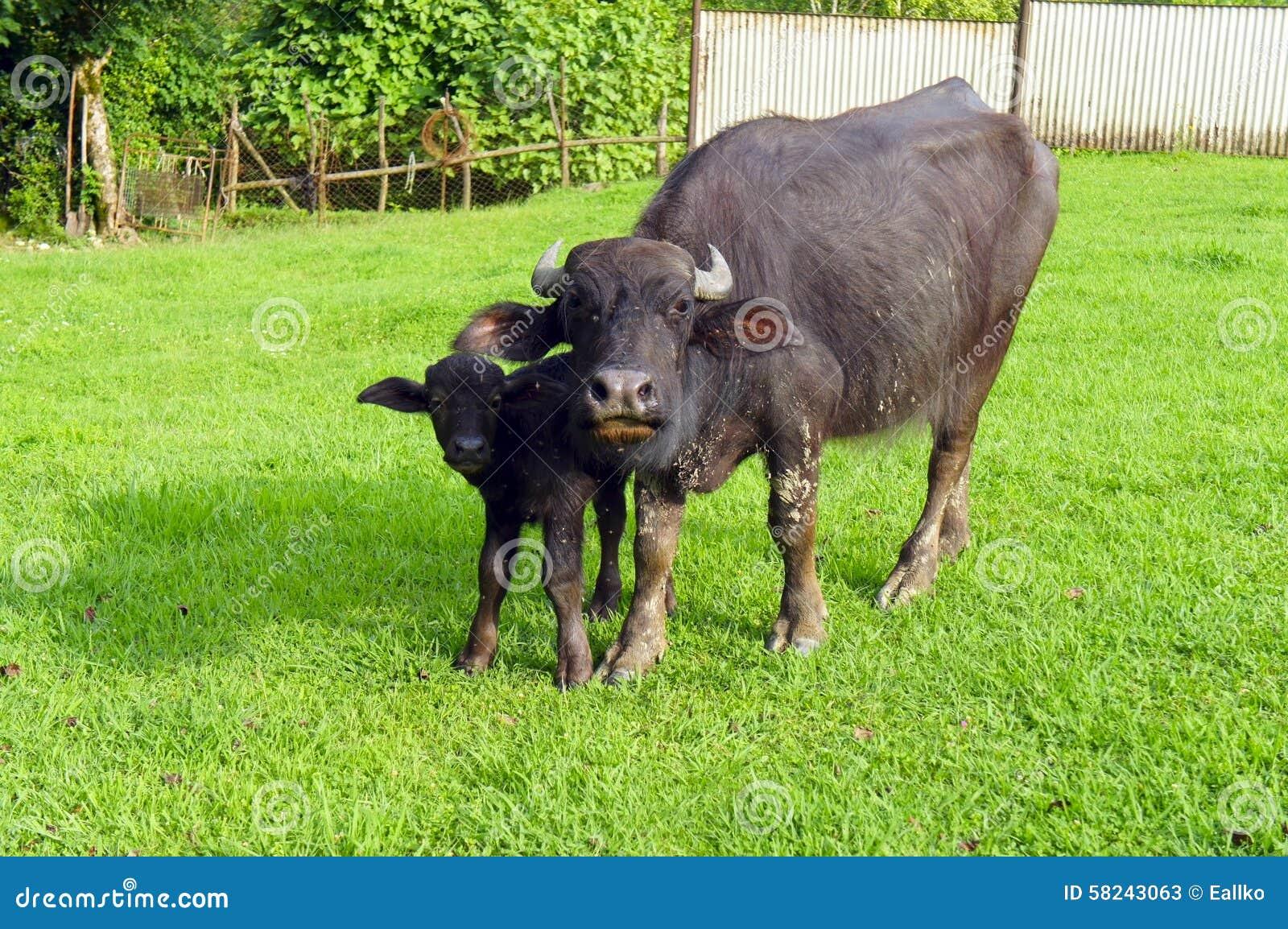buffalo e vitello del bufalo sul prato inglese