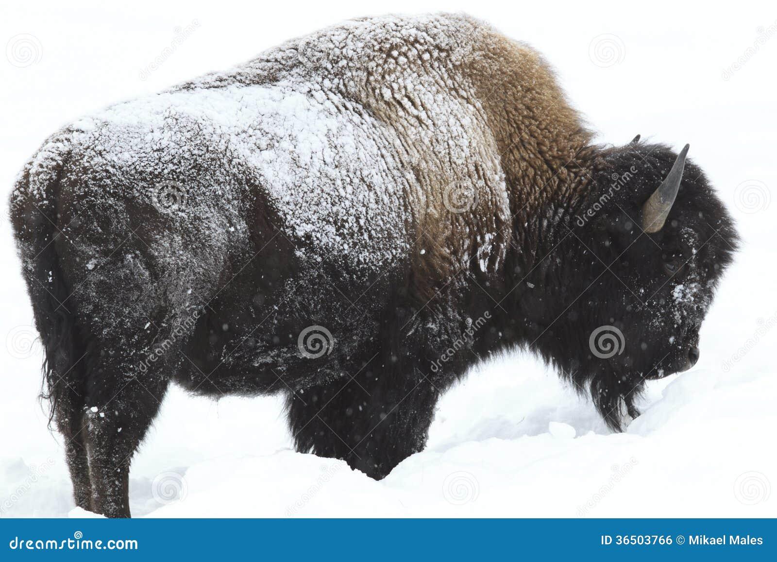Buffalo en pergélisol dans la neige profonde