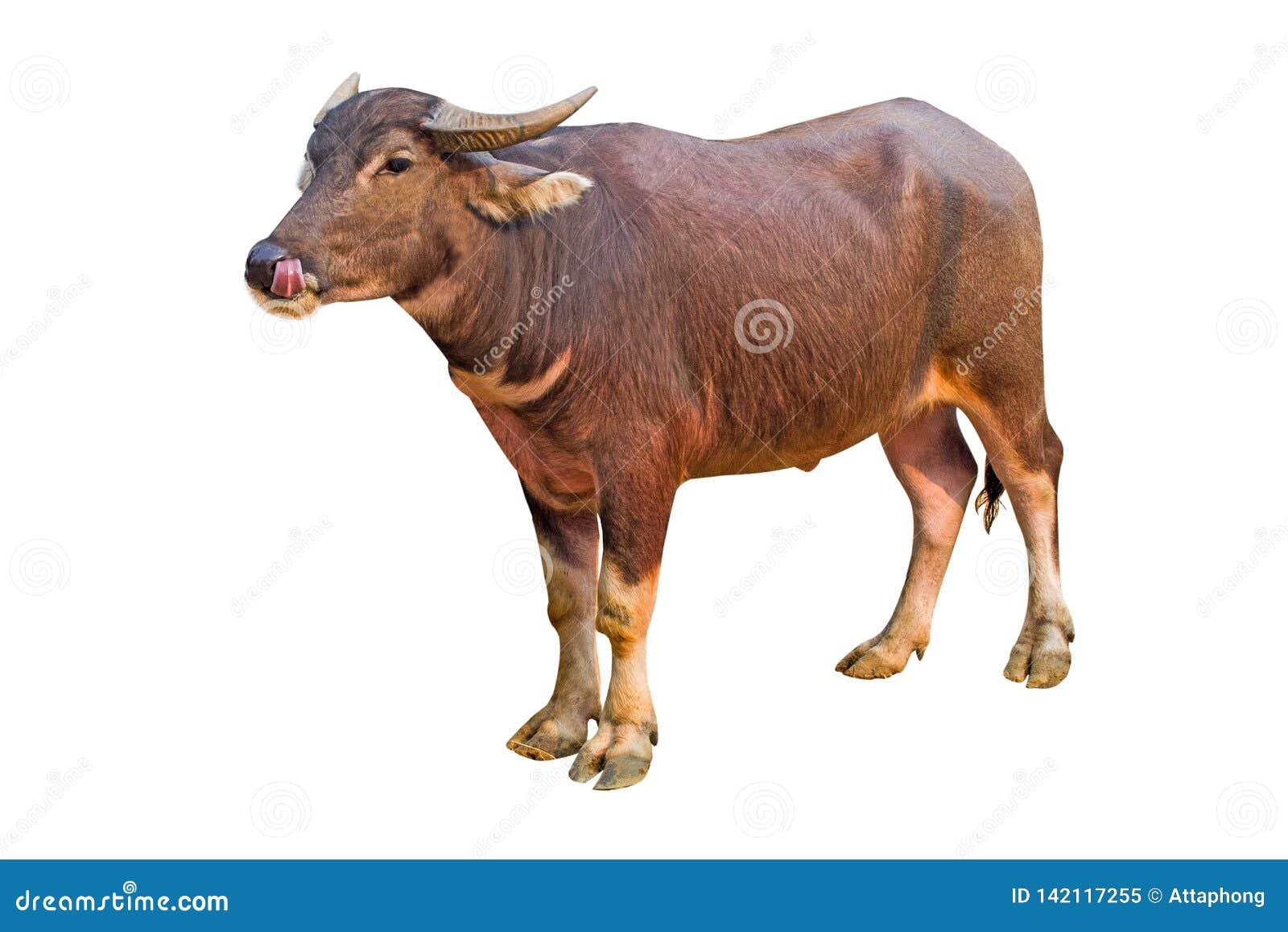 Buffalo isolata sulla Buffalo tailandese del fondo bianco sulla Buffalo bianca del fondo in Tailandia
