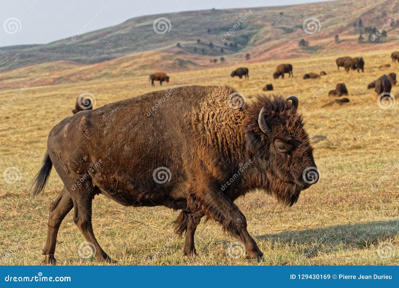 Buffalo marchant dans un paysage de Custer Park