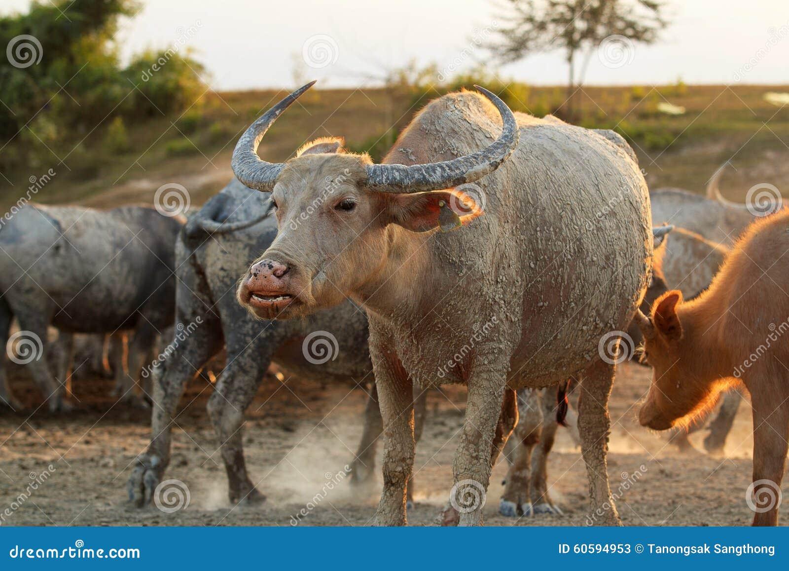 Buffalo su field5