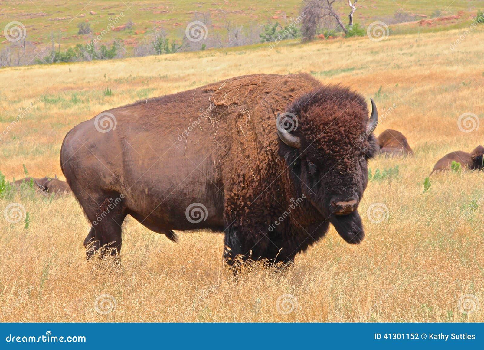 buffalo up close stock photo image 41301152. Black Bedroom Furniture Sets. Home Design Ideas